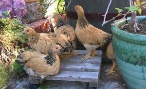 Chickens20140814a