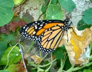 Monarch20140729a