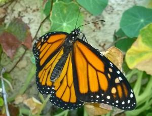 Monarch20140729b