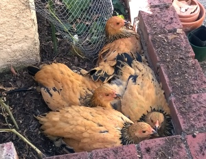 Chickens 20140907a_